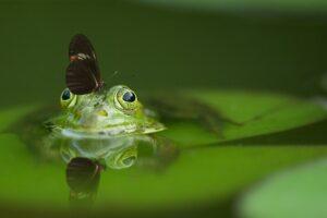 long wing butterfly on frog head soak on water